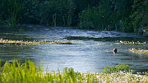 Two European otters (Lutra lutra) hunting in the River Stour, Dorset, England, UK, May.  -  Simon Littlejohn