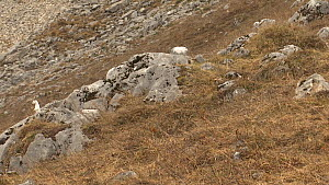 Stoat (Mustela erminea) running and hunting, with winter coat, Haute-Savoie, France, October.  -  Simon Littlejohn