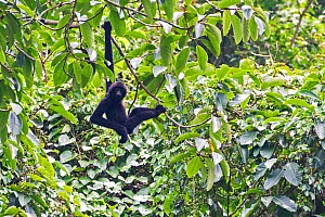 Cao Vit gibbon (Nomascus nasutus) male haning from rainforest tree, Vietnam. Critically endangered species, rediscovered in 2002, found only in northern Vietnam and the adjacent region of China, with...  -  Fauna & Flora International