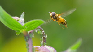 Hoverfly (Epistrophe grossulariae) taking off from flower and landing again, April, UK  -  James Dunbar