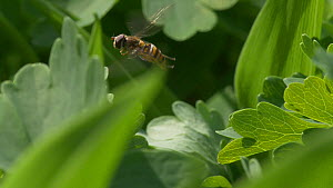 Slow motion clip of a Hoverfly (Episyrphus balteatus) in flight, April, UK  -  James Dunbar