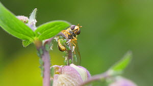 Hoverfly (Epistrophe grossulariae) attempting to lay eggs amongst aphids. Ovipositor visible, April, UK  -  James Dunbar