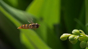 Slow motion clip of a Marmalade hoverfly (Episyrphus balteatus) hovering in flight, UK, April.  -  James Dunbar