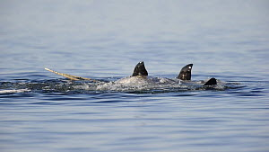 Group of Narwhal (Monodon monoceros) interacting at surface of the water, horn visible, Baffin Island, Nunavut, Canada, June.  -  Eric Baccega