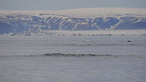 Group of Narwhal (Monodon monoceros) interacting at surface of the water, Baffin Island, Nunavut, Canada, June.  -  Eric Baccega