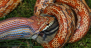 Captive corn snake (Pantherophis guttatus) eating an Eastern chipmunk (Eutamias sp.). The chipmunk was found dead and fed to the captive snake. North America.  -  John Cancalosi