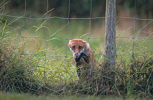 Red fox (Vulpes vulpes) climbing through wire fence.  -  Laurent Geslin