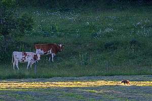 Red fox (Vulpes vulpes) walking through mown hayfield, watched by cattle.  -  Laurent Geslin