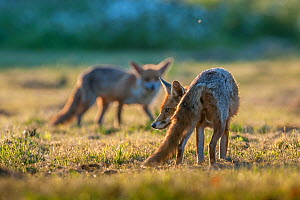 Red fox (Vulpes vulpes) two looking for food in pasture, England.  -  Laurent Geslin
