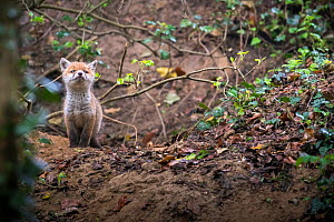 Red fox (Vulpes vulpes) young male cub near entrance to earth in woodland, Switzerland.  -  Laurent Geslin