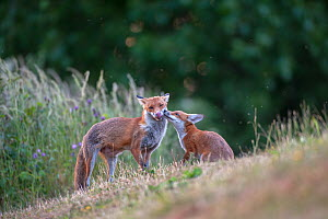 Red fox (Vulpes vulpes) cub in pasture asking vixen for food, England.  -  Laurent Geslin