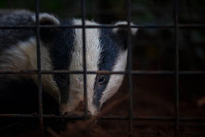 A European badger (Meles meles) in a cage trap before being vaccinated against TB. North Somerset, UK. Badger vaccination programmes are being carried out in England as a means of controlling the spre...  -  Neil Aldridge