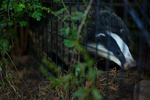 A European badger (Meles meles) in a cage trap before being vaccinated against TB. Gloucestershire, UK. Badger vaccination programmes are being carried out in England as a means of controlling the spr...  -  Neil Aldridge