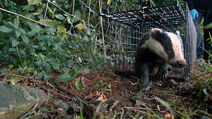 Man releasing a Badger (Meles meles) from a cage trap, after vaccination against Bovine TB, part of a vaccination programme, North Somerset, England, UK, August 2020.  -  Neil Aldridge