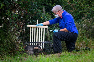 A vaccinator preparing to inoculate a European badger (Meles meles) against TB uses plastic wickets to restrict the animal's movement in a cage trap. North Somerset, UK. Badger vaccination program...  -  Neil Aldridge
