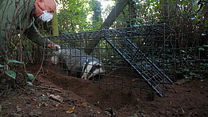 Man clipping the fur of a Badger (Meles meles) in a cage trap after vaccination against Bovine TB, part of a vaccination programme, the clipped patch of fur helps to indicate that the badger has alrea...  -  Neil Aldridge