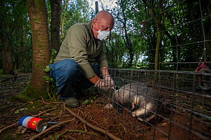 A vaccinator inoculates a sleeping European badger (Meles meles) against TB. North Somerset, UK. Badger vaccination programmes are being carried out in England as a means of controlling the spread of...  -  Neil Aldridge