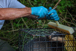 A vaccinator prepares to clip the fur of a European badger (Meles meles) in a cage trap after vaccinating it against TB. North Somerset, UK. The clipped area will be sprayed with a dye to indicate tha...  -  Neil Aldridge