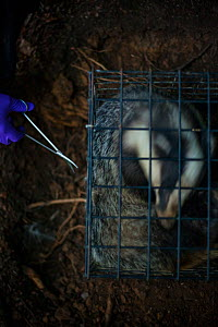 A European badger (Meles meles) in a cage trap has its fur cut by scissors after being vaccinated against TB. North Somerset, UK. The clipped area will be sprayed with a dye to indicate that the badge...  -  Neil Aldridge