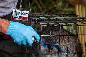 A European badger (Meles meles) is sprayed with blue dye in a cage trap after being vaccinated against TB. North Somerset, UK. The mark indicates that the badger has already been vaccinated in case it...  -  Neil Aldridge