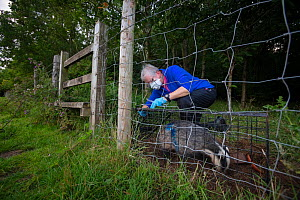 A European badger (Meles meles) being released from a cage trap after vaccination against TB. North Somerset, UK. The blue spray on its side indicates the badger has been vaccinated in case it is trap...  -  Neil Aldridge