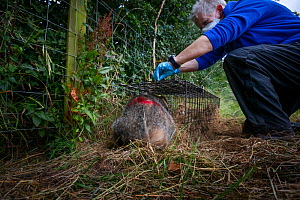 A European badger (Meles meles) is released from a cage trap after being vaccinated against TB. North Somerset, UK. The red spray on its side indicates the badger has been vaccinated in case it is tra...  -  Neil Aldridge
