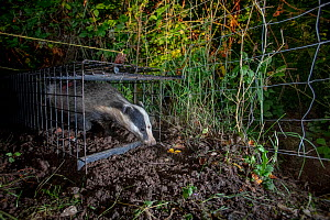 A European badger (Meles meles) leaves a cage trap after being vaccinated against TB. North Somerset, UK. The red spray on its side indicates the badger has been vaccinated in case it is trapped again...  -  Neil Aldridge