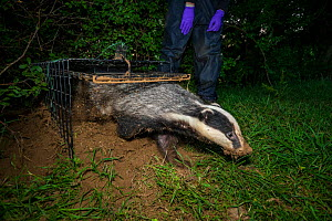 A European badger (Meles meles) leaves a cage trap after being vaccinated against TB. North Somerset, UK. Badger vaccination programmes are being carried out in England as a means of controlling the s...  -  Neil Aldridge