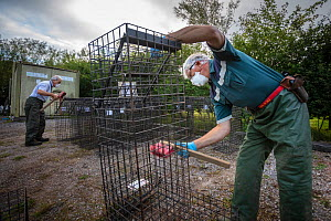 Cages used for trapping European badgers (Meles meles) for vaccination against TB are scrubbed. North Somerset, UK. Badger vaccination programmes are being carried out in England as a means of control...  -  Neil Aldridge