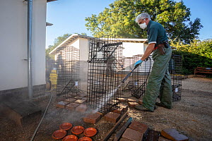 Cages used for trapping European badgers (Meles meles) for vaccination against TB are cleaned. North Somerset, UK. Badger vaccination programmes are being carried out in England as a means of controll...  -  Neil Aldridge