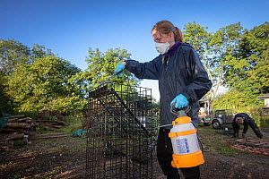 Cages used for trapping European badgers (Meles meles) for vaccination against TB are sprayed with disinfectant. North Somerset, UK. Badger vaccination programmes are being carried out in England as a...  -  Neil Aldridge