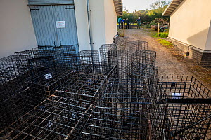 Cages used for trapping European badgers (Meles meles) for vaccination against TB are stacked up to be cleaned. North Somerset, UK. Badger vaccination programmes are being carried out in England as a...  -  Neil Aldridge