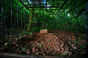 A cage trap set to catch a European badger (Meles meles) as part of a programme to vaccinate badgers against TB in North Somerset, UK. The trap is baited with peanuts. Badger vaccination programmes ar...  -  Neil Aldridge