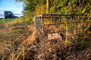 A cage trap is set to catch a European badger (Meles meles) as part of a programme to vaccinate badgers against TB in North Somerset, UK. Badger vaccination programmes are being carried out in England...  -  Neil Aldridge