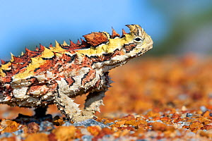Thorny devil (Moloch horridus) portrait. Kalbarri National Park, Western Australia. October.  -  Bert Willaert