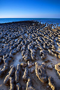 Stromatolites on coast, the result of Cyanobacteria communities growing for millions of years in a hypersaline environment and forming sedimentary rock. Hamelin Pool Marine Nature Reserve, Shark Bay,...  -  Bert Willaert