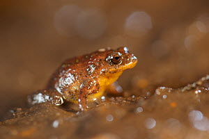 Yellow-bellied frog (Geocrinia vitellina), species confined to 6.3 km2 area east of the Leeuwin-Naturaliste Ridge, Western Australia. November 2019.  -  Bert Willaert
