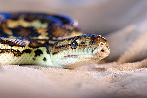 South-west carpet python (Morelia spilota imbricata), portrait. Cheynes Beach, Western Australia. November.  -  Bert Willaert