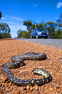 South-west carpet python (Morelia spilota imbricata) dead on roadside, victim of car strike. Chester Pass Road, Stirling Range National Park, Western Australia. November 2019.  -  Bert Willaert