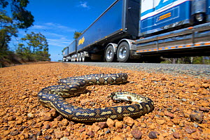 South-west carpet python (Morelia spilota imbricata) dead on roadside, victim of car strike. Road train in background. Chester Pass Road, Stirling Range National Park, Western Australia. November 2019...  -  Bert Willaert