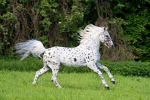 RF - Knabstrupper stallion with leopard spotting colouration, running in pasture. Germany. May. (This image may be licensed either as rights managed or royalty free.)  -  Carol Walker