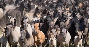 Dulmen pony, wild herd of mares and foals running together at the roundup. Dulmen, North Rhine-Westphalia, Germany.  -  Carol Walker