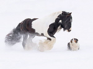 Gypsy vanner horse walking in snow with dog, looking at one another. Quebec, Canada. January.  -  Carol Walker