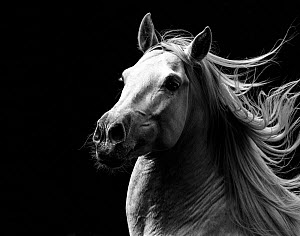 RF - Andalusian horse stallion running with mane flowing, portrait. Germany. (This image may be licensed either as rights managed or royalty free.)  -  Carol Walker