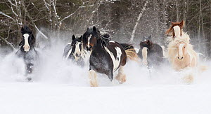 RF - Gypsy vanner herd galloping through the snow. Quebec, Canada. January. (This image may be licensed either as rights managed or royalty free.)  -  Carol Walker