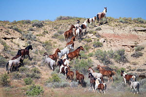 RF - Mustang herd running up a hill. Fifteenmile Herd Management Area, Wyoming, USA. July. (This image may be licensed either as rights managed or royalty free.)  -  Carol Walker