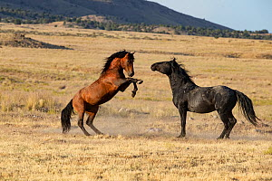 Mustang horses, two stallions in grassland, one rearing up. Onaqui Mountain Wild Horse Management Area, Utah, USA. July 2018.  -  Carol Walker
