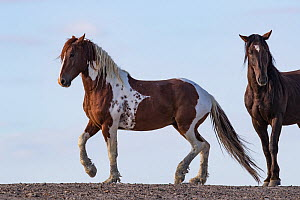 Mustang horse, two, one with skewbald colouration. Sand Wash Basin Herd Management Area, Colorado, USA.  -  Carol Walker