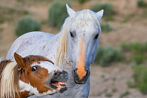 RF - Mustang stallion and his colt, colt opening and closing mouth in submission. Sand Wash Basin Herd Management Area, Colorado, USA. (This image may be licensed either as rights managed or royalty f...  -  Carol Walker