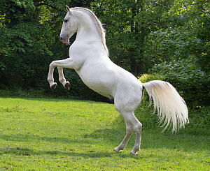 RF - Lipizzaner stallion standing on hind legs in pasture. Germany. (This image may be licensed either as rights managed or royalty free.)  -  Carol Walker